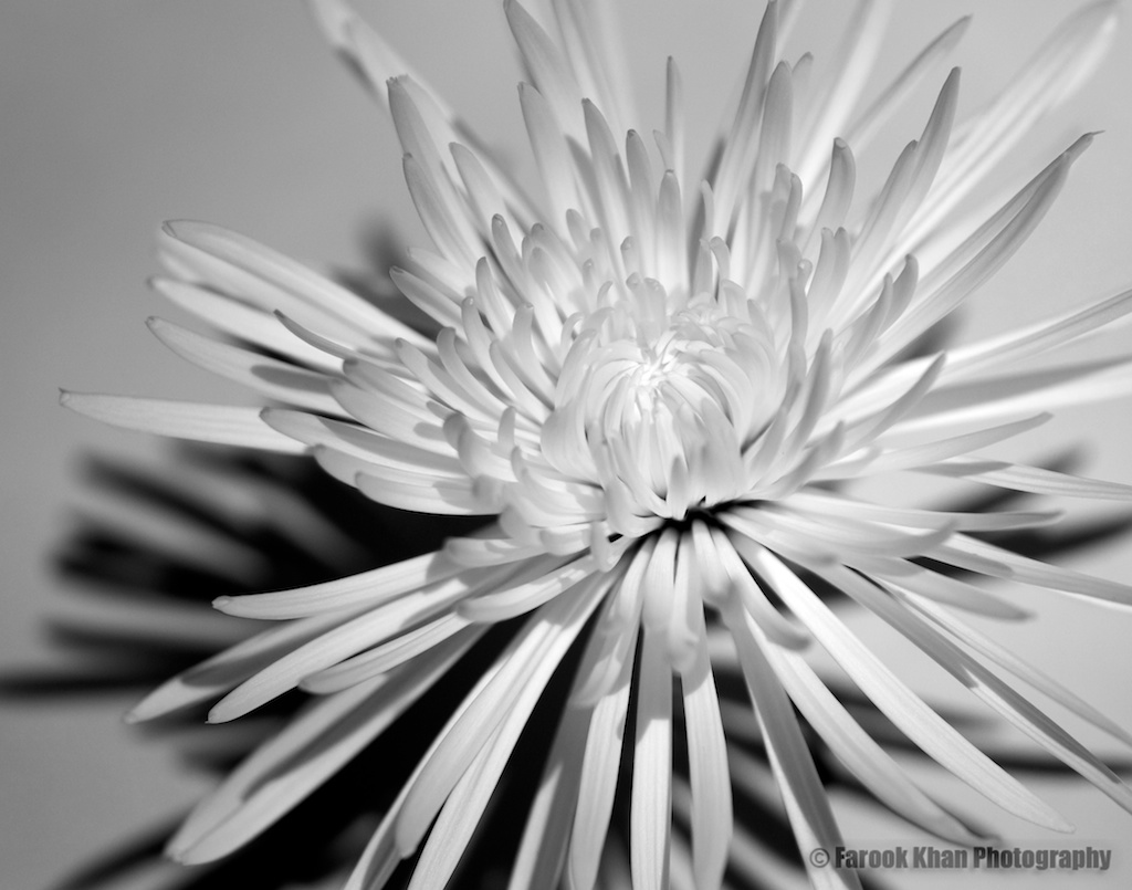 White anastasia spider flower farook khan blog posted mightylinksfo